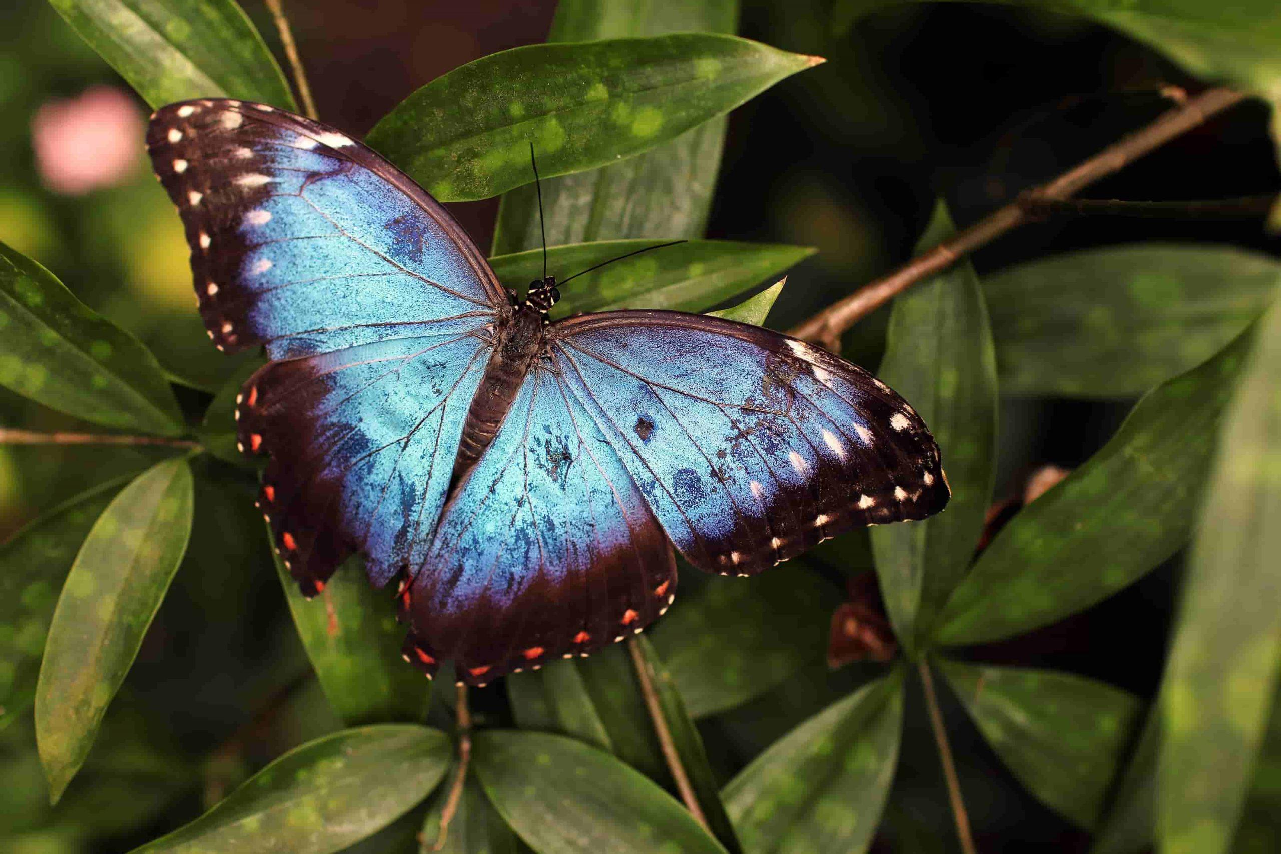 Casa delle farfalle cervia , farfalla blu