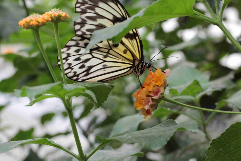Farfalla bianca nera e gialla appoggiata su un fiore arancione alla casa delle farfalle